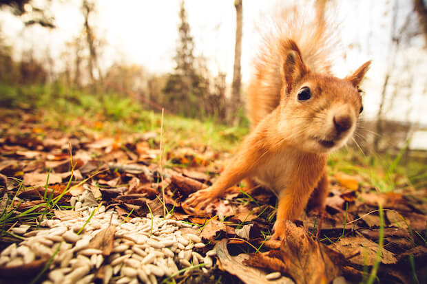 Eichhörnchen ©shutterstock.com/everst - https://www.shutterstock.com/image-photo/squirrel-red-fur-funny-pets-autumn-321521546
