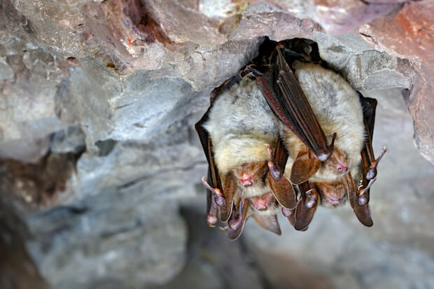 Schlafende Fledermäuse ©shutterstock.com/Ondrej Prosicky - https://www.shutterstock.com/image-photo/greater-mouseeared-bat-myotis-nature-cave-572332003