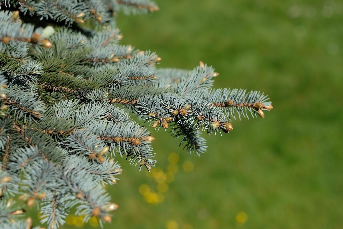 Grüner Tannenzweig zu Weihnachten. ©pixabay.com