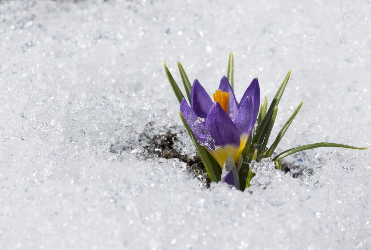 Krokus im Schnee. @shutterstock.com/Volkova Irina