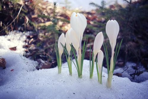 Schneeglöckchen blühbereit im Schneerest ©Kichigin