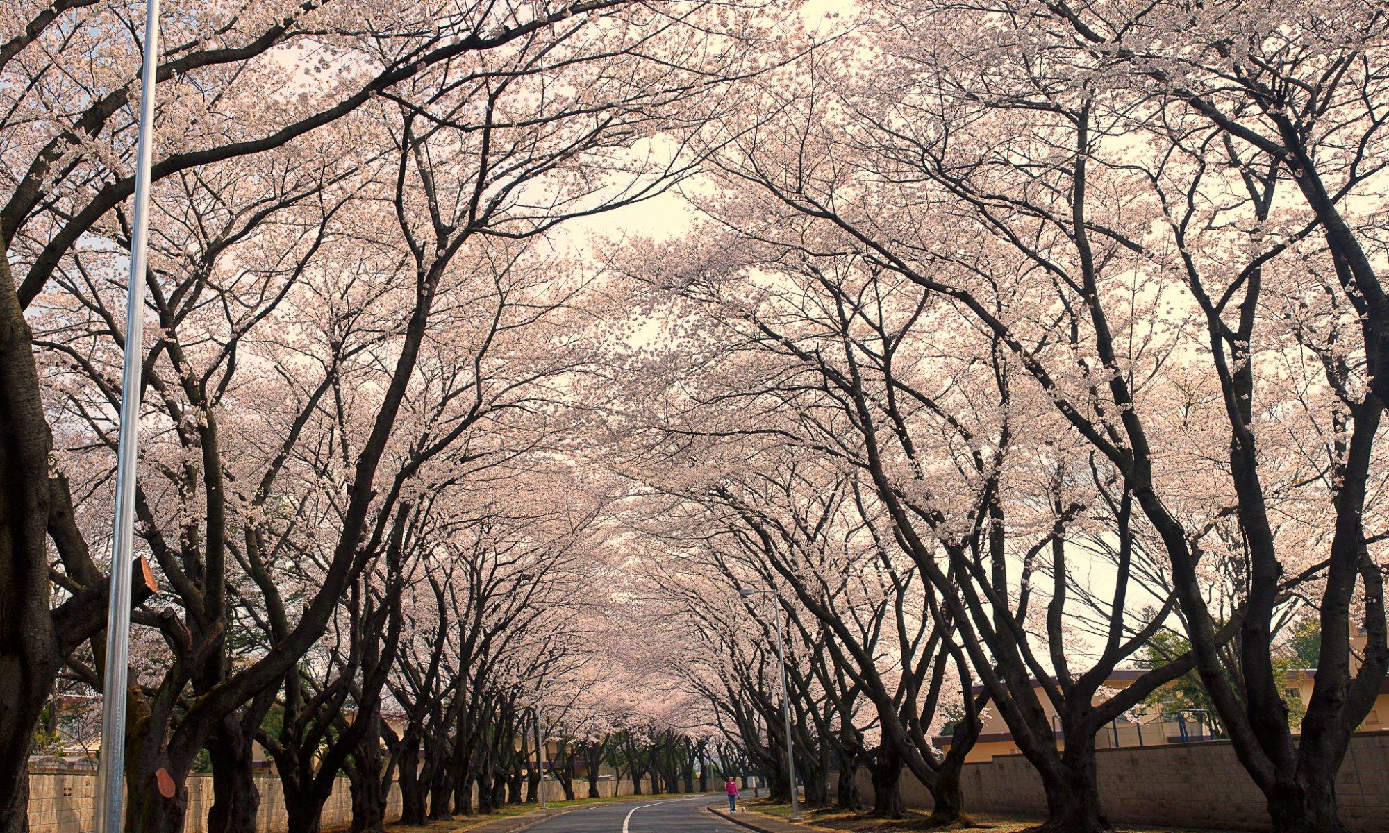Kirschblüten tauchen die Landschaft in ein herrliches Rosa © UBIMET