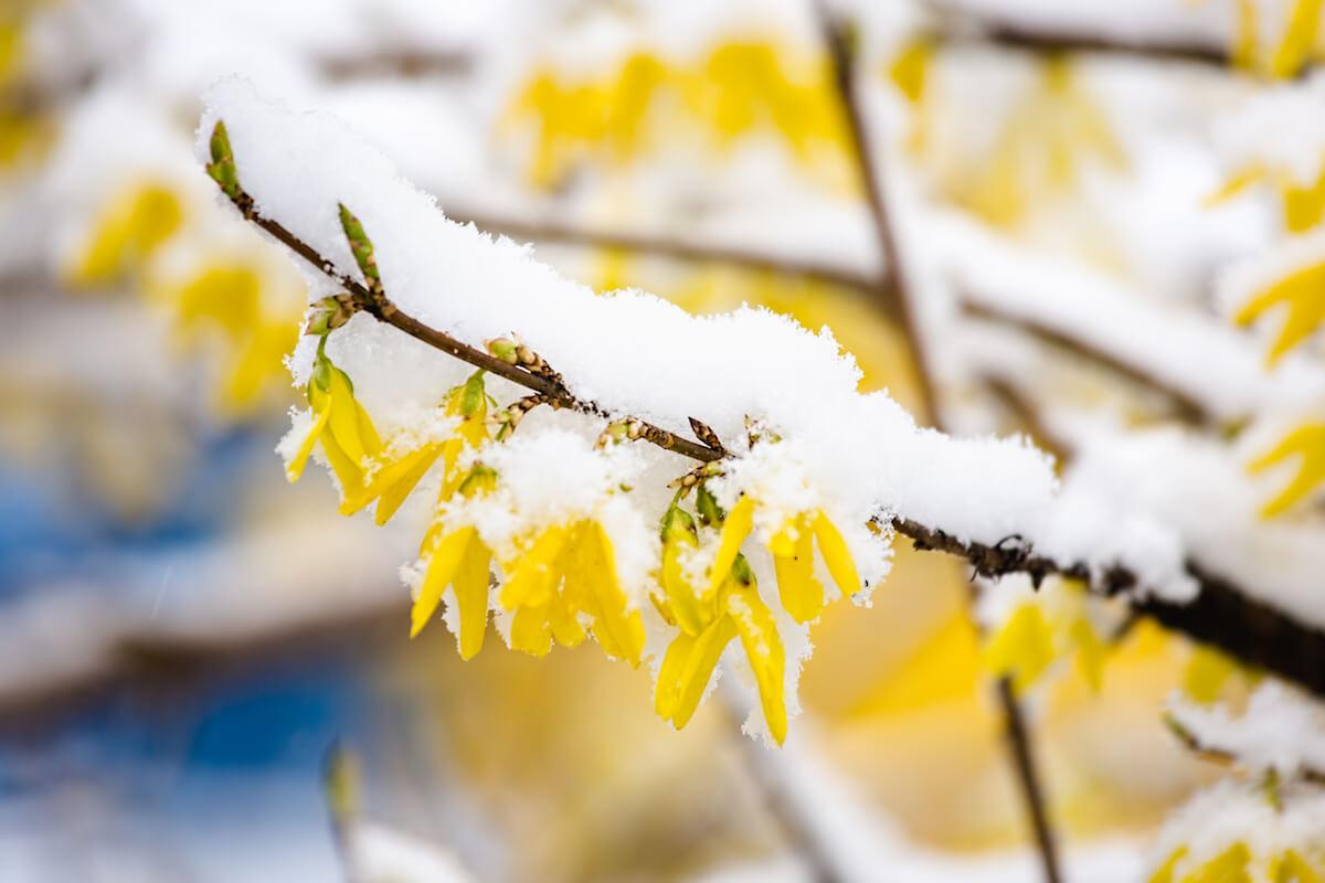 Forsythien im Schnee. @shutterstock