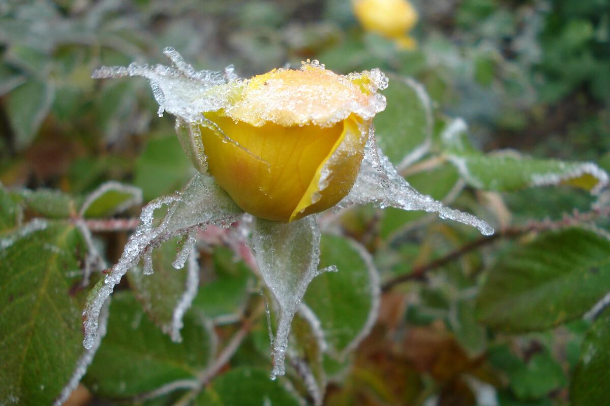 Gefrorene Rose ©Anne_Schmidt
