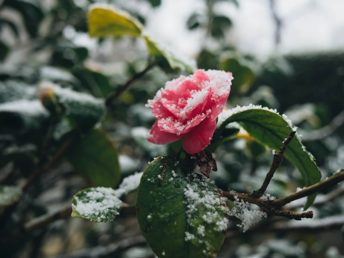 Rose im Schnee. @shutterstock