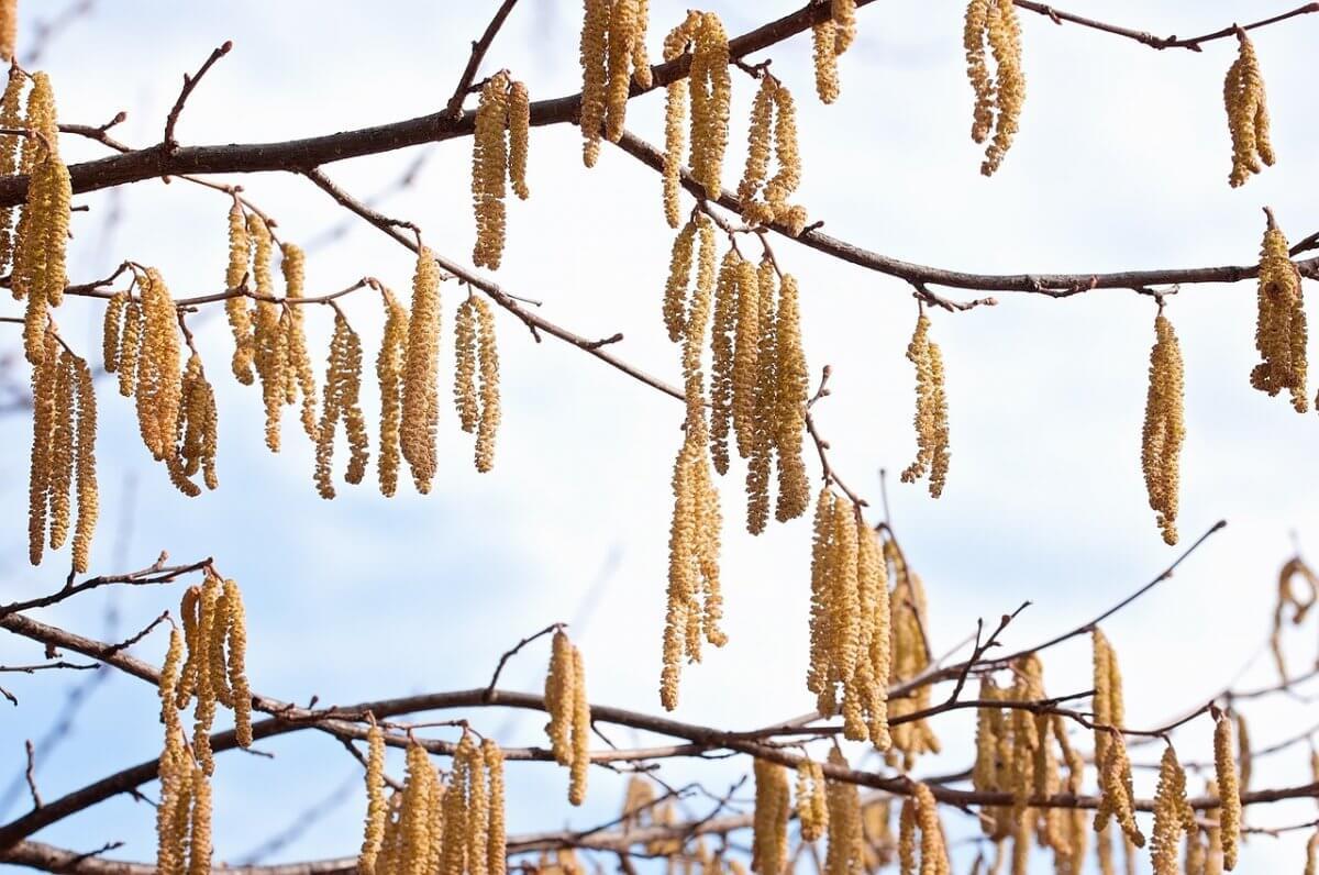 Haselpollen im Frühling © pixabay