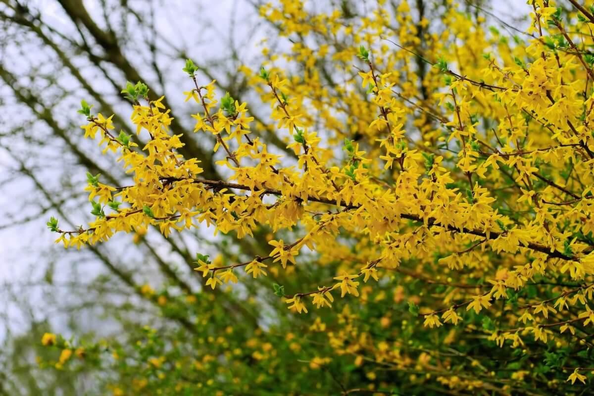 Forsythienblüte ©pixabay/Kapa65