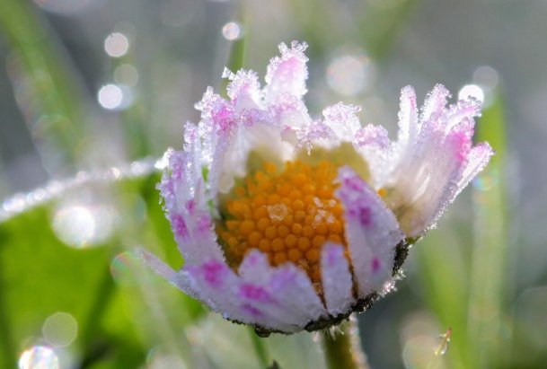 Nahaufnahme von Frost auch einem Gänseblümchen ©pixabay/Myriamy_Fotos