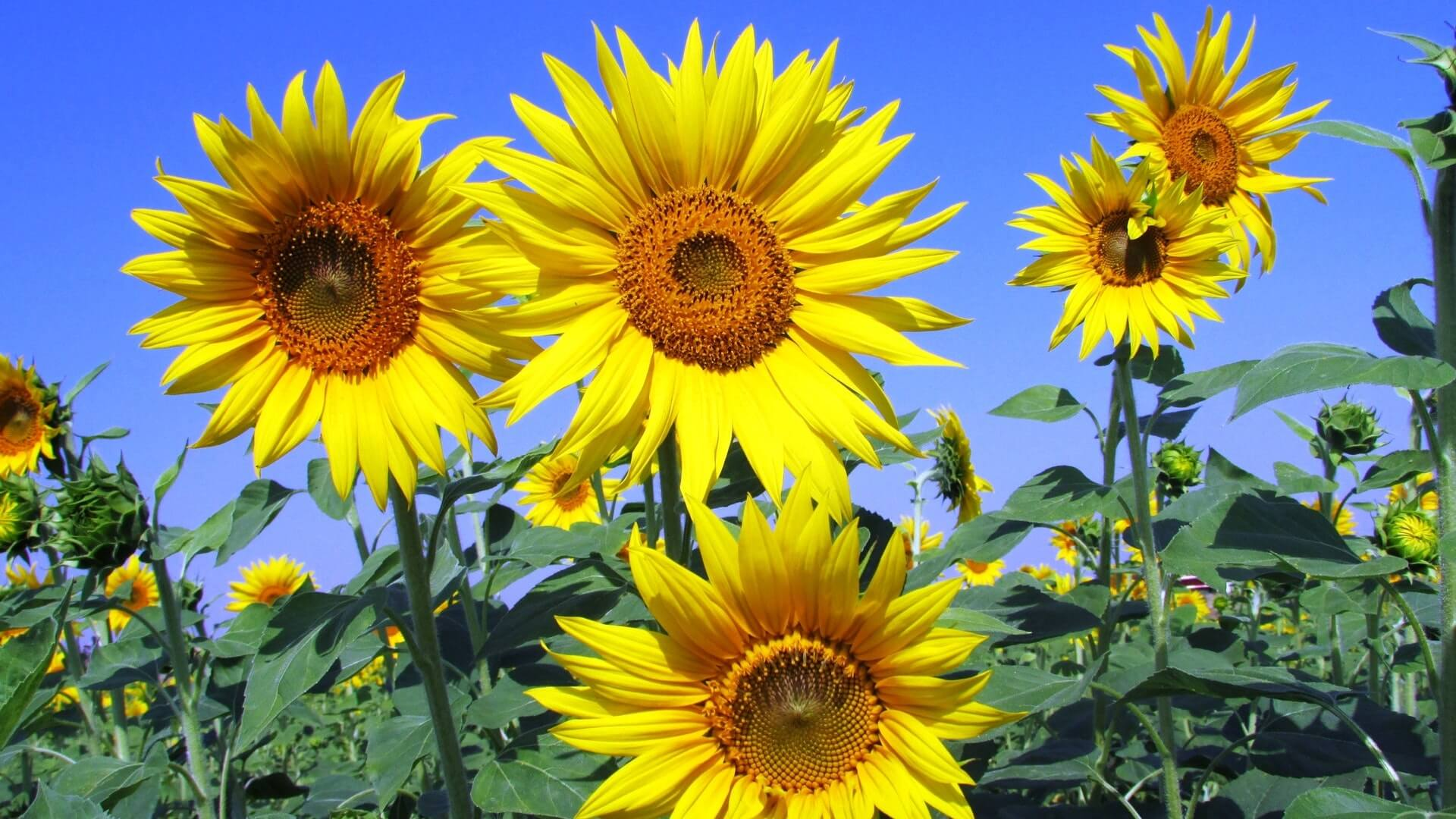Sonnenblumen_pexels