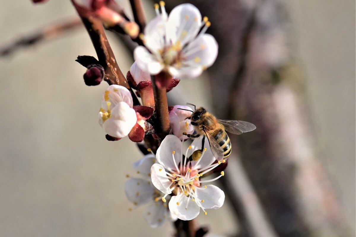 Die Marillen blühen jetzt © pixabay