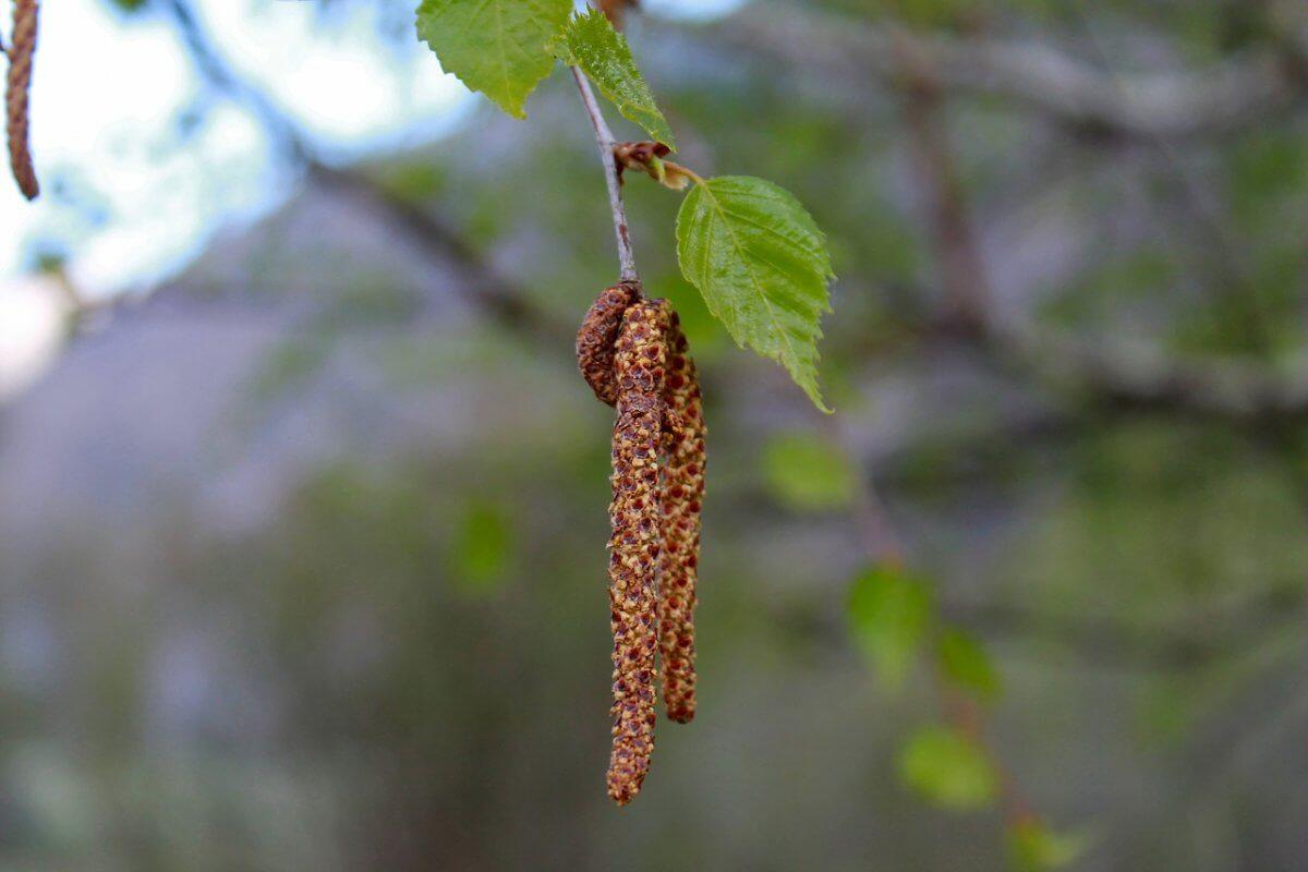 Die Pollen der Birke © pixabay