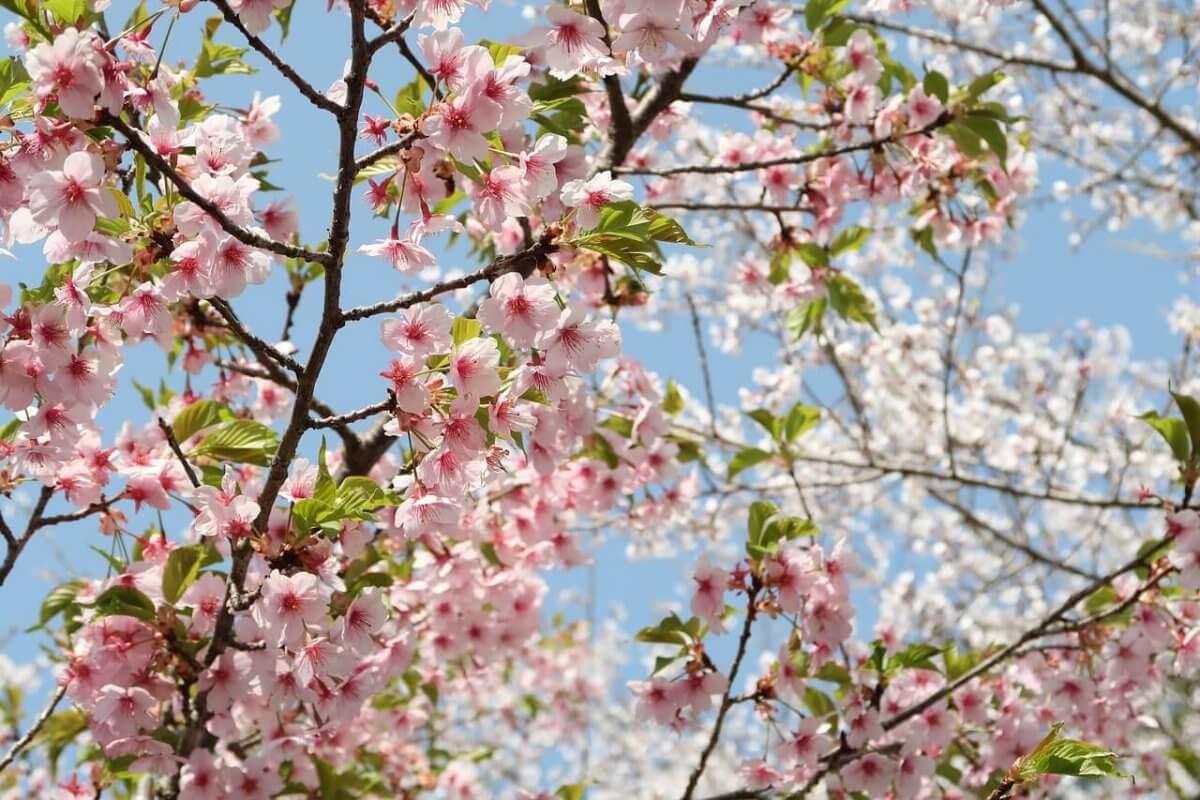 Auch die Kirschen beginnen langsam zu blühen © pixabay