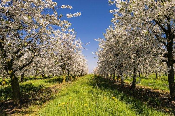 Apfelblüte im Frühling.
