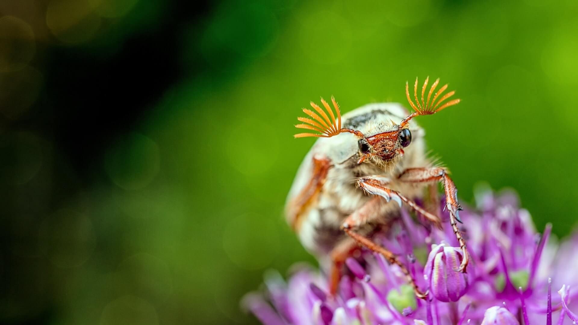 Maikäfer auf einer Blüte. @pexels