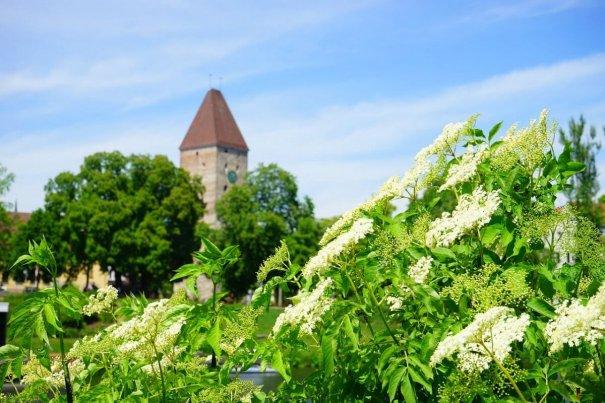 Phänologischer Frühsommer – Holunderblüte