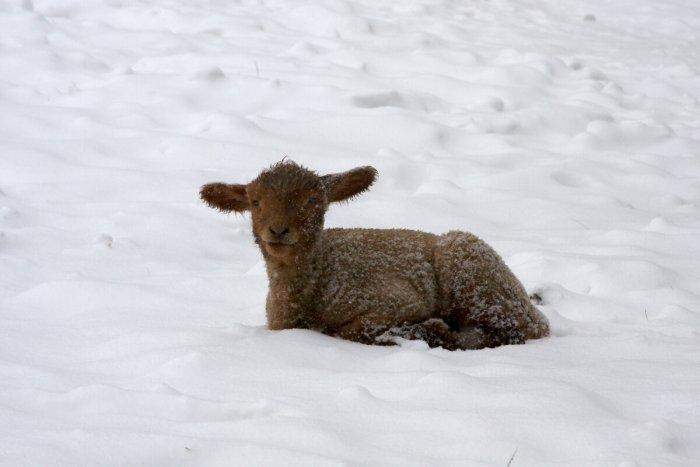 Schaf im Schnee ©shutterstock