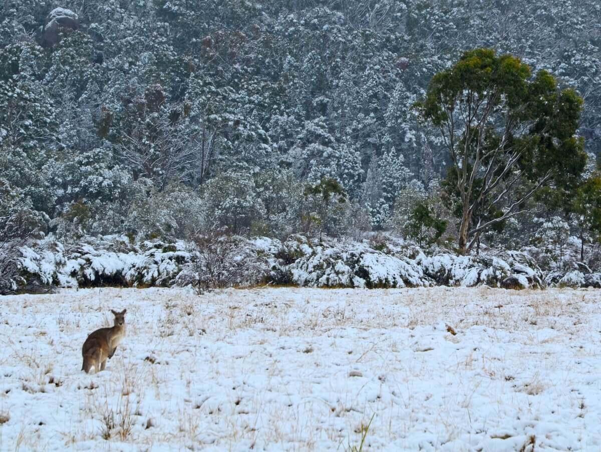 Känguru in Australien im Schnee. © shutterstock.com