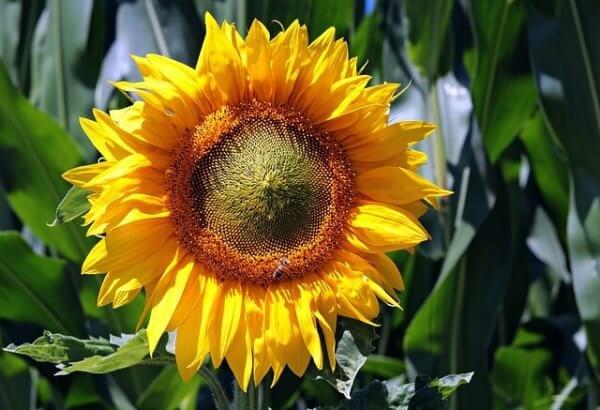Sonnenblumen hatten im Juli Hochsaison.