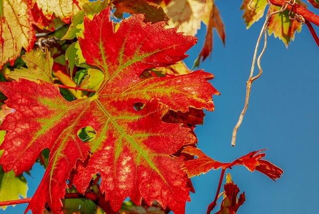 Leuchtende Weinberge im Herbst