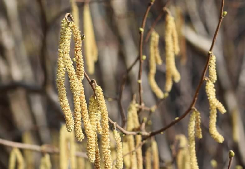 Die Pollensaison steht in den Startlöchern