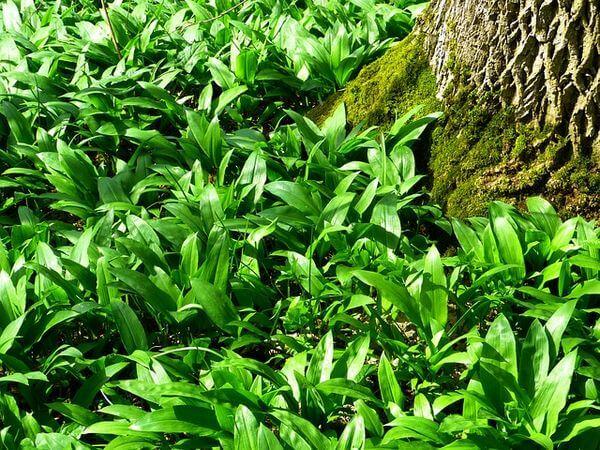 Bärlauch ist in den Wäldern weit verbreitet.