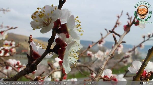 Die Marille in der Wachau blüht