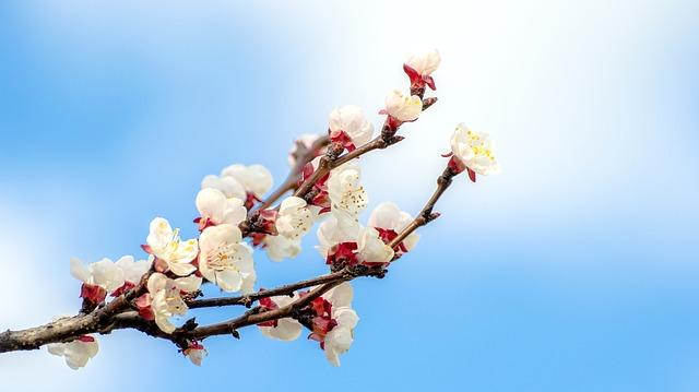 Der milde März lässt die Marillenbäume blühen.