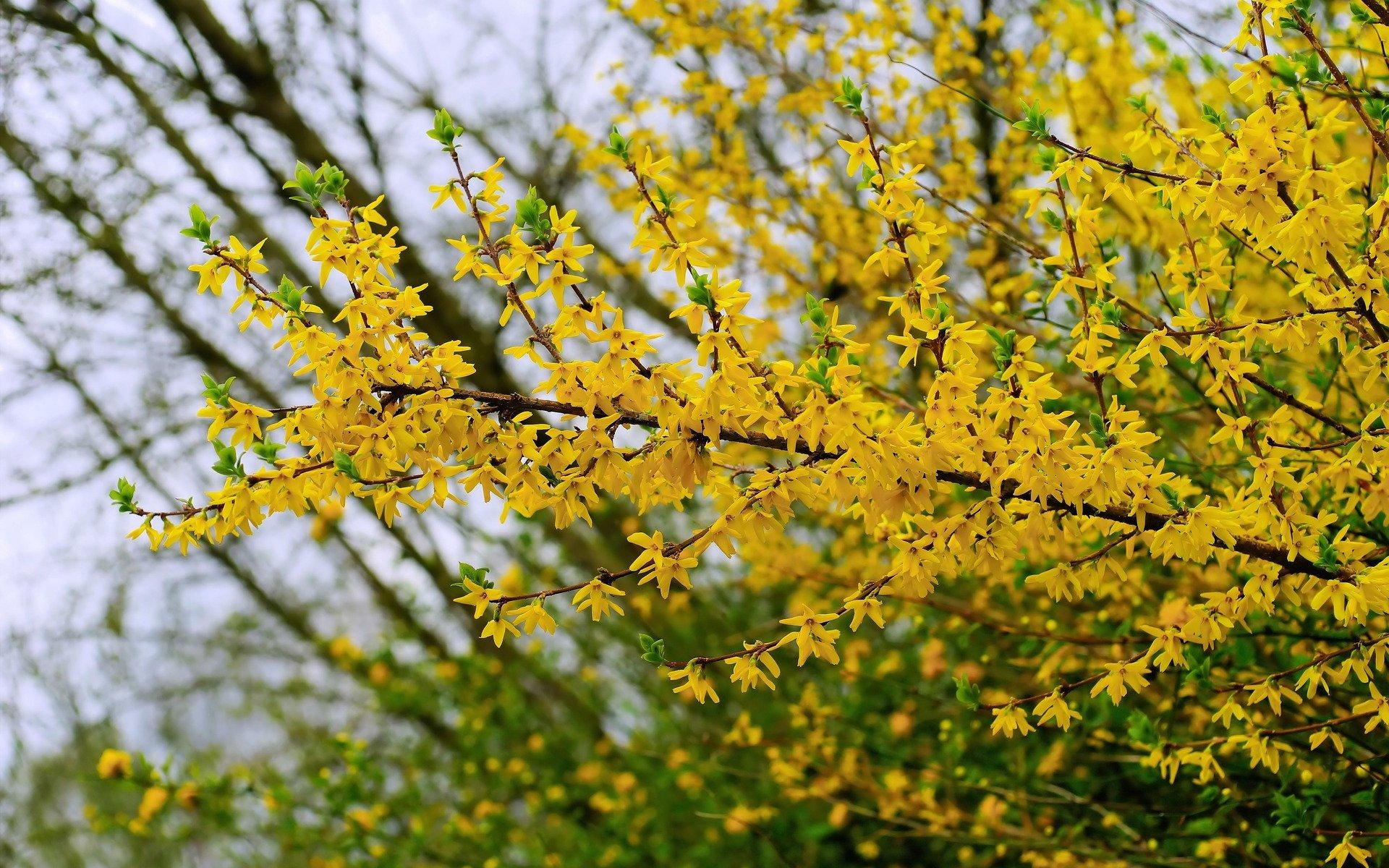 Forsythienblüte zum Frühlingsbeginn
