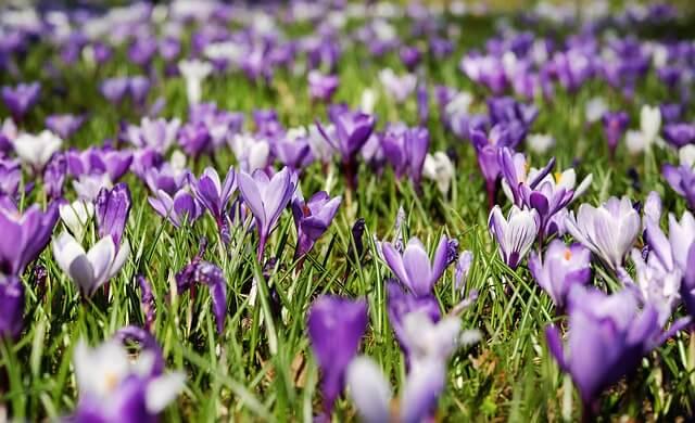 Die Frühlingsblumen sorgen für farbenfrohe Wiesen.