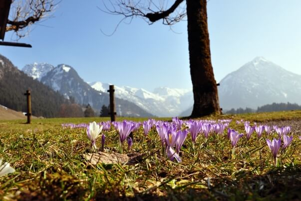 Frühling mit Krokusse