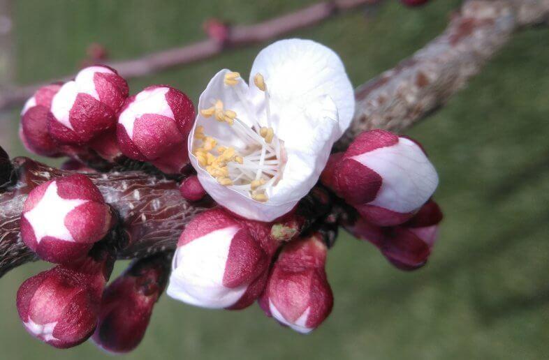 Marillenblüte startet um 3 Wochen zu früh