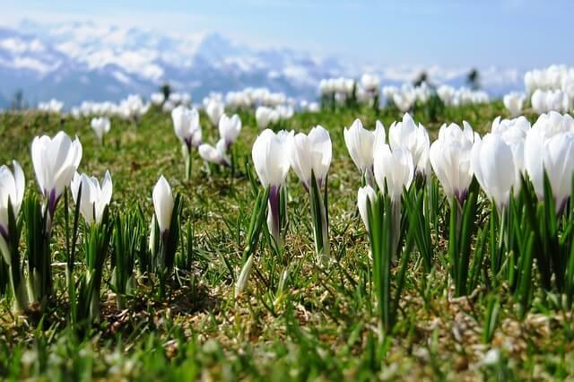 Krokusse in den Alpen