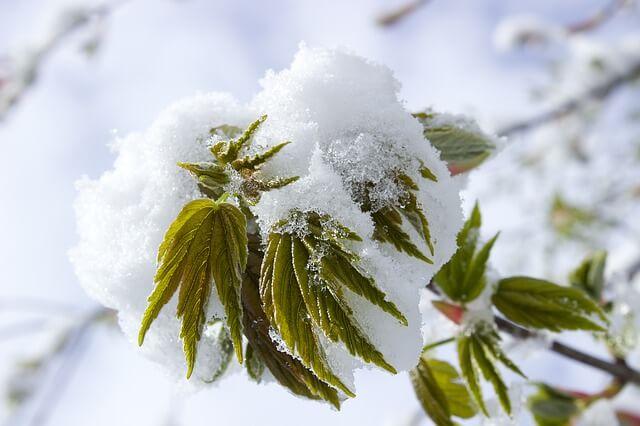 Belaubte Bäume biegen sich unter der Schneelast.