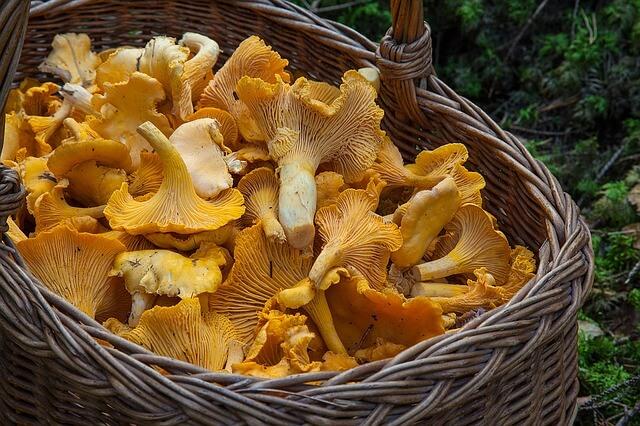 Eierschwammerl sind die beliebtesten Pilze hierzulande.