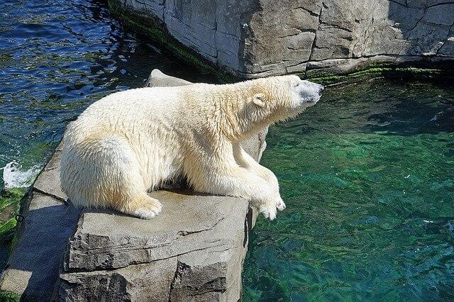 Eisbär ©pixabay