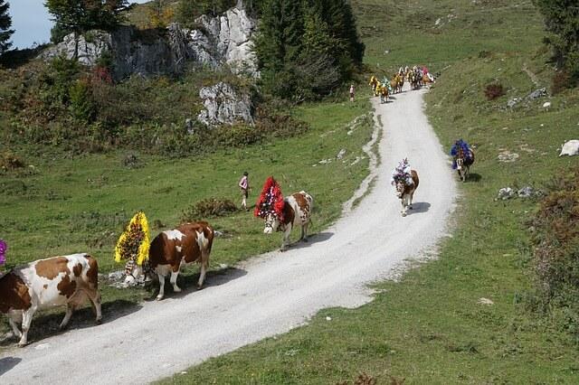 Die Kühe kehren dieser Tage zurück ins Tal.