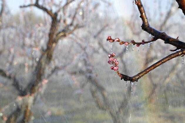 Frost im Frühling
