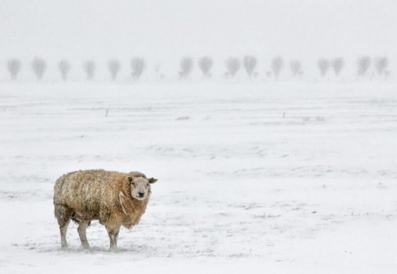 Die Schafskälte