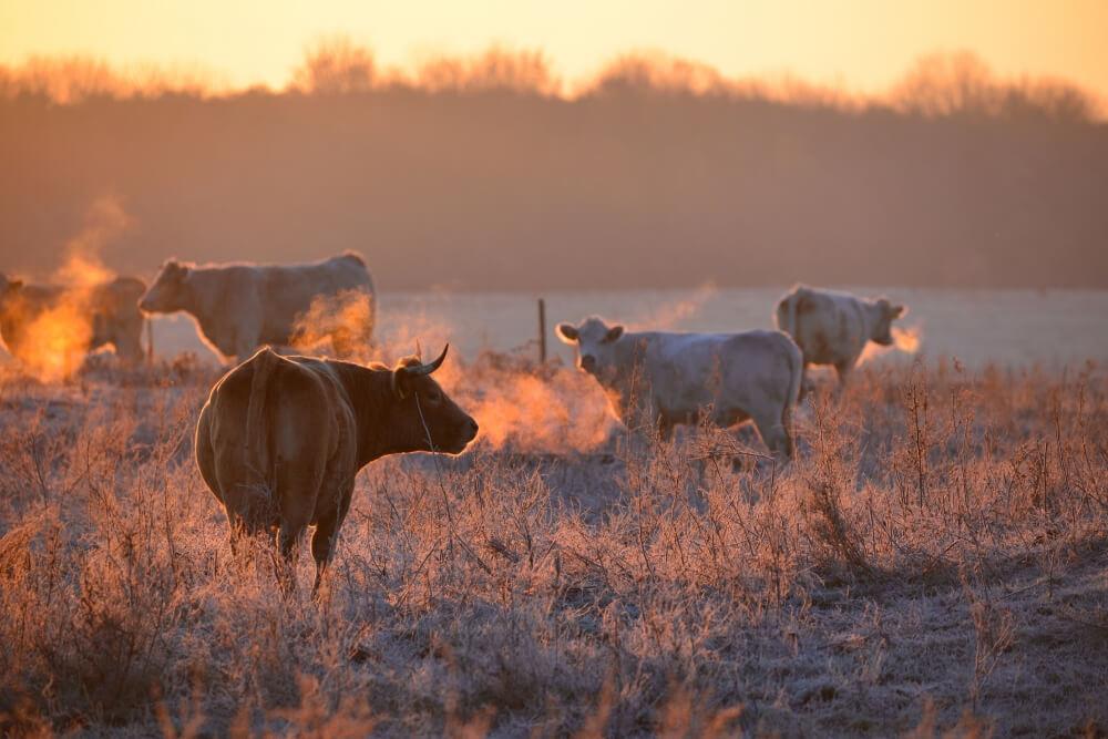 Kühe im Frost